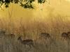 dawn-impala