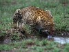 leopard-at-water