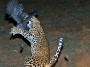 Leopard catching guinea fowl