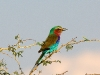 lilac-roller