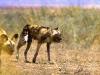 wild-dogs