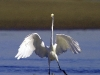 egret-with-baitfish