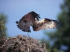 osprey-on-nest