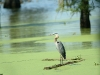 watchful-great-blue-heron