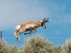 antelope-jumping