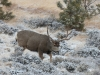 big-buck-in-snow