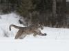 lion-running-1